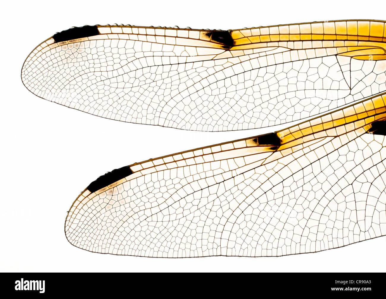 Asas de libélula Imagens de Stock
