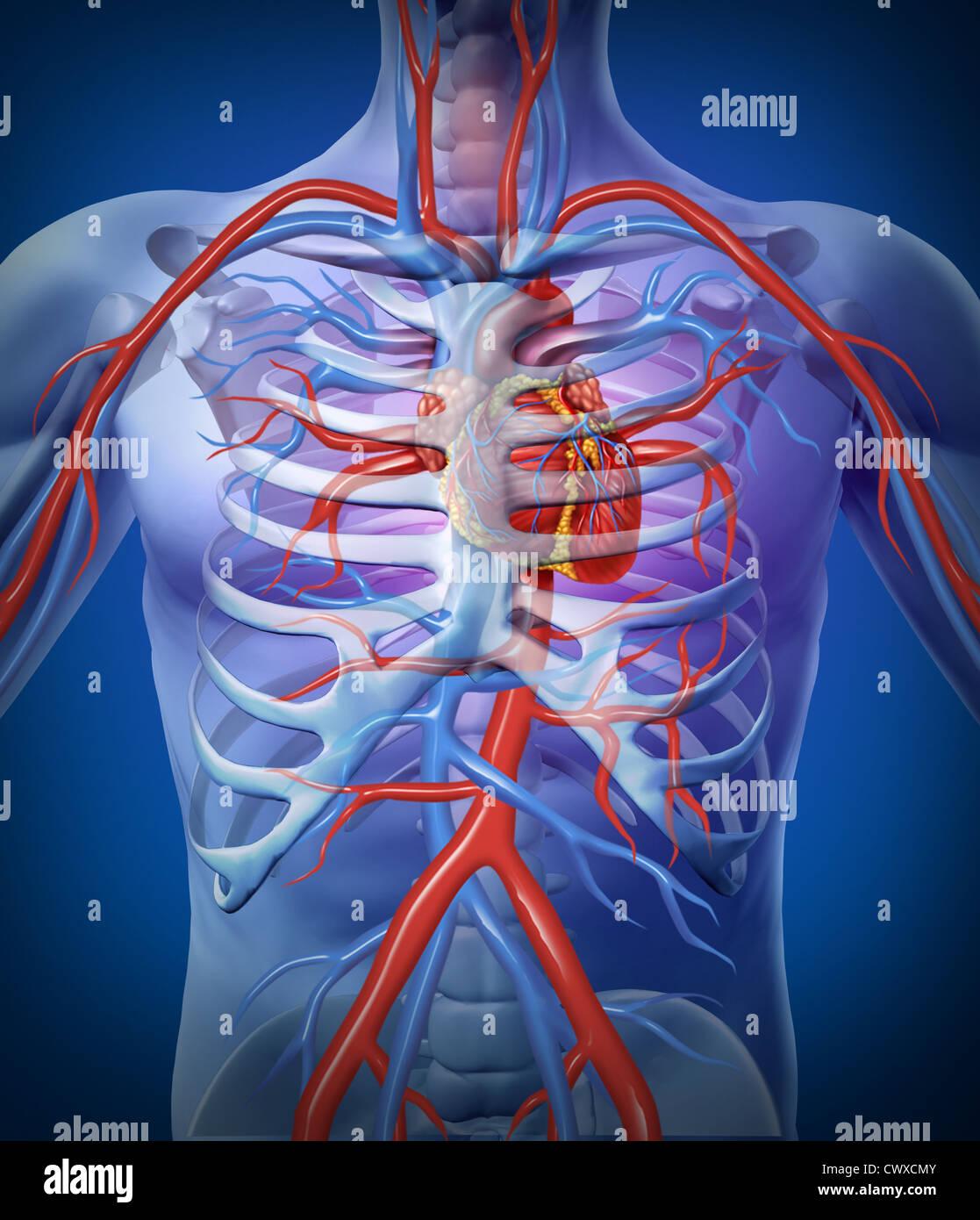 Coração humano circulação em um esqueleto de um sistema ...