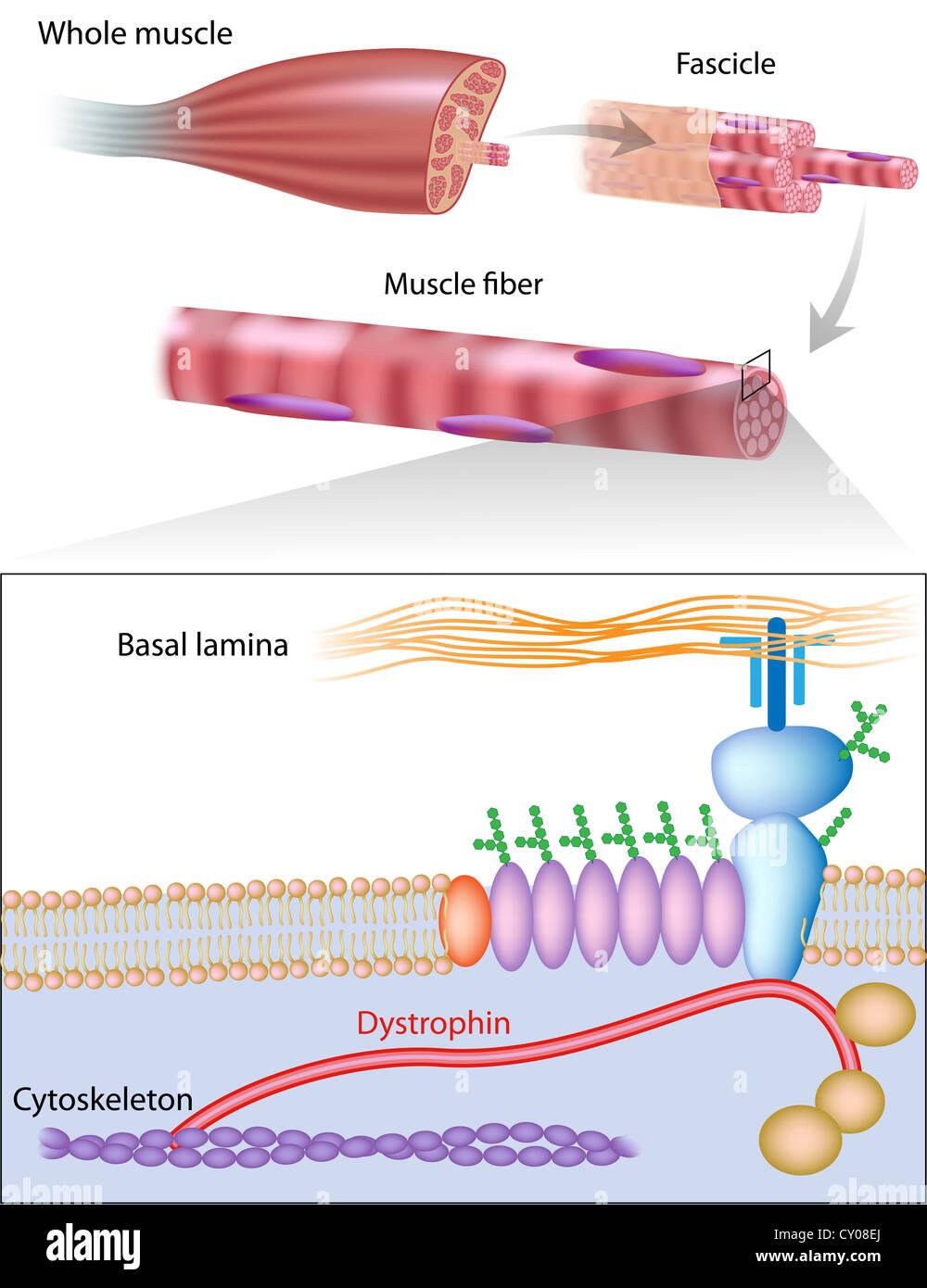 Estrutura muscular dystrophin mostrando a localização na membrana da ...