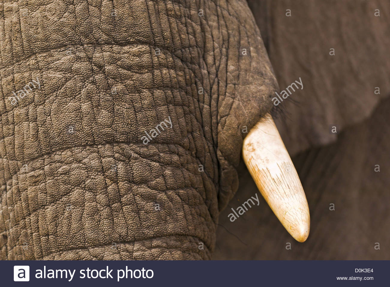 Um close-up de um elefante jogando na lama no Okavango Delta do Botsuana. Imagens de Stock