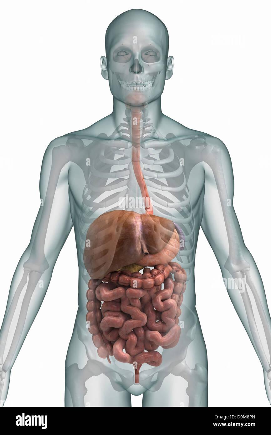 Logo estilizado da vista frontal do sistema digestivo e ossos da ...