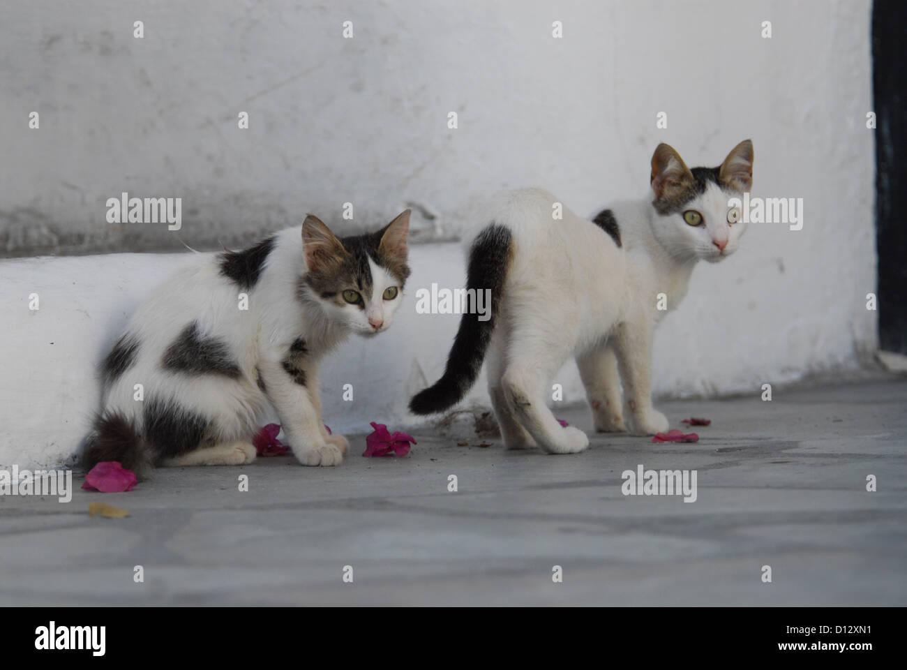 Zwei junge Hauskätzchen, Weiss mit Punkten, Kykladen, Griechenland, dois gatinhos, manchada, Cíclades, Imagens de Stock