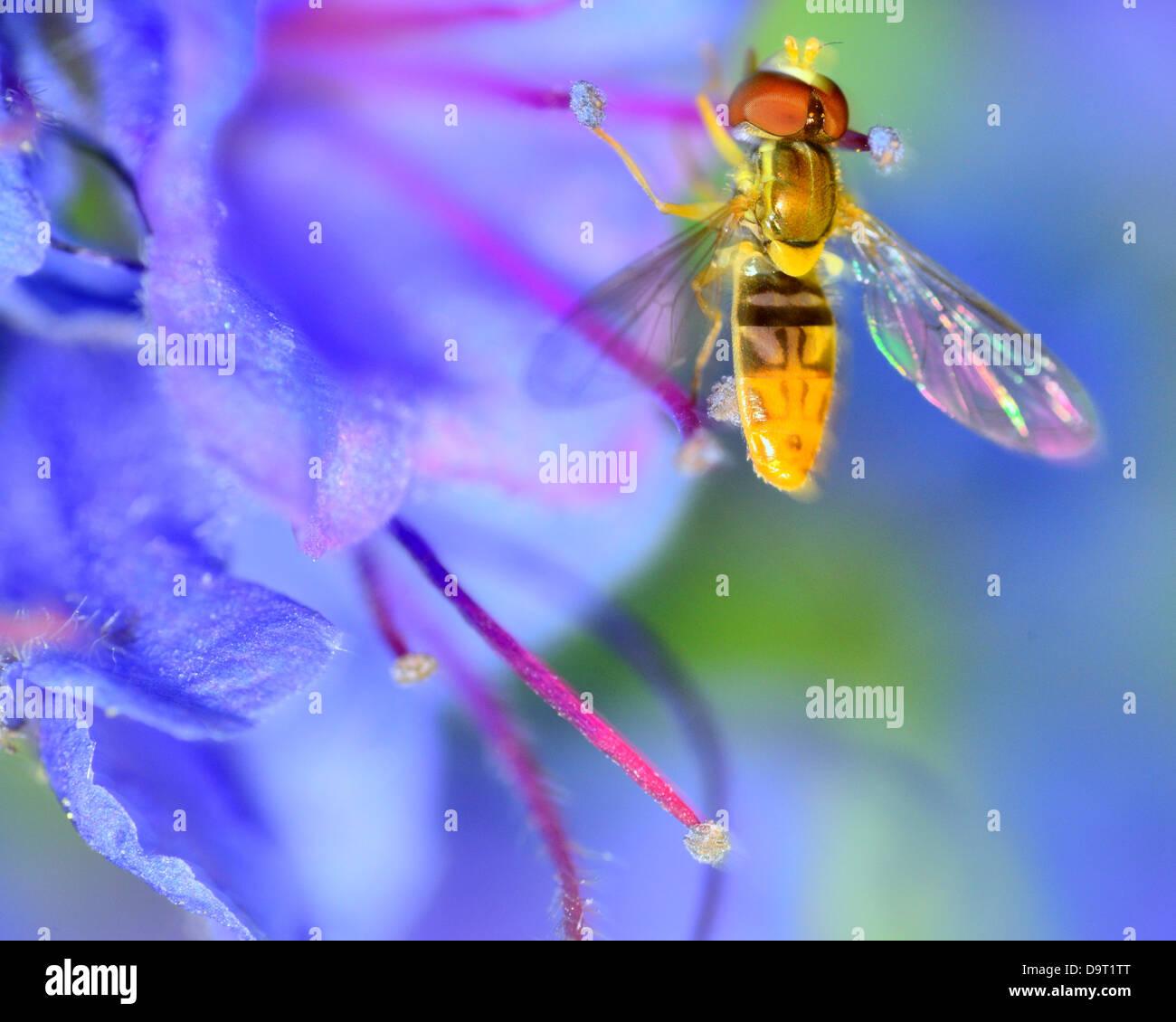 Hoverfly empoleirada sobre uma flor recolhendo pólen. Imagens de Stock