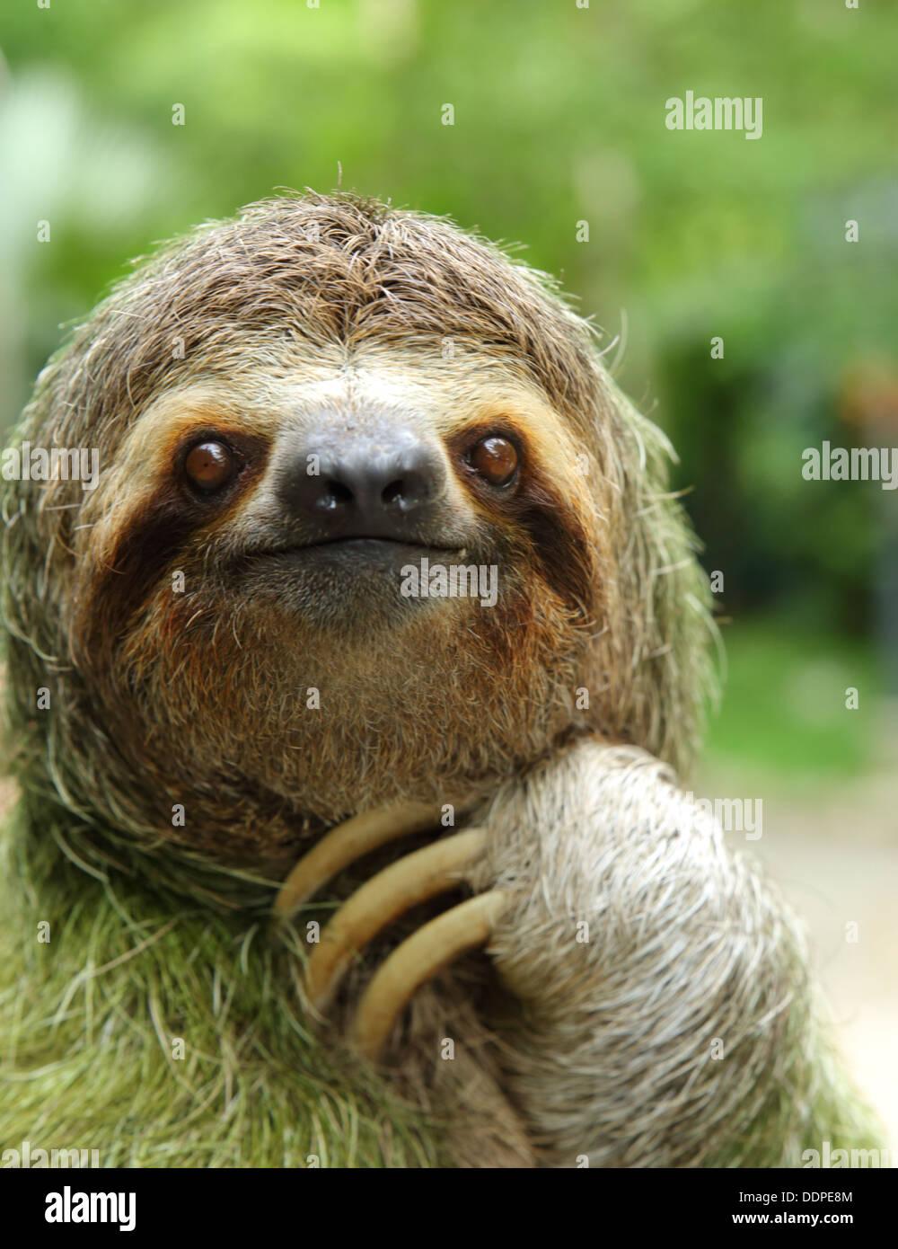 Close-up de um três-preguiça, Costa Rica Imagens de Stock