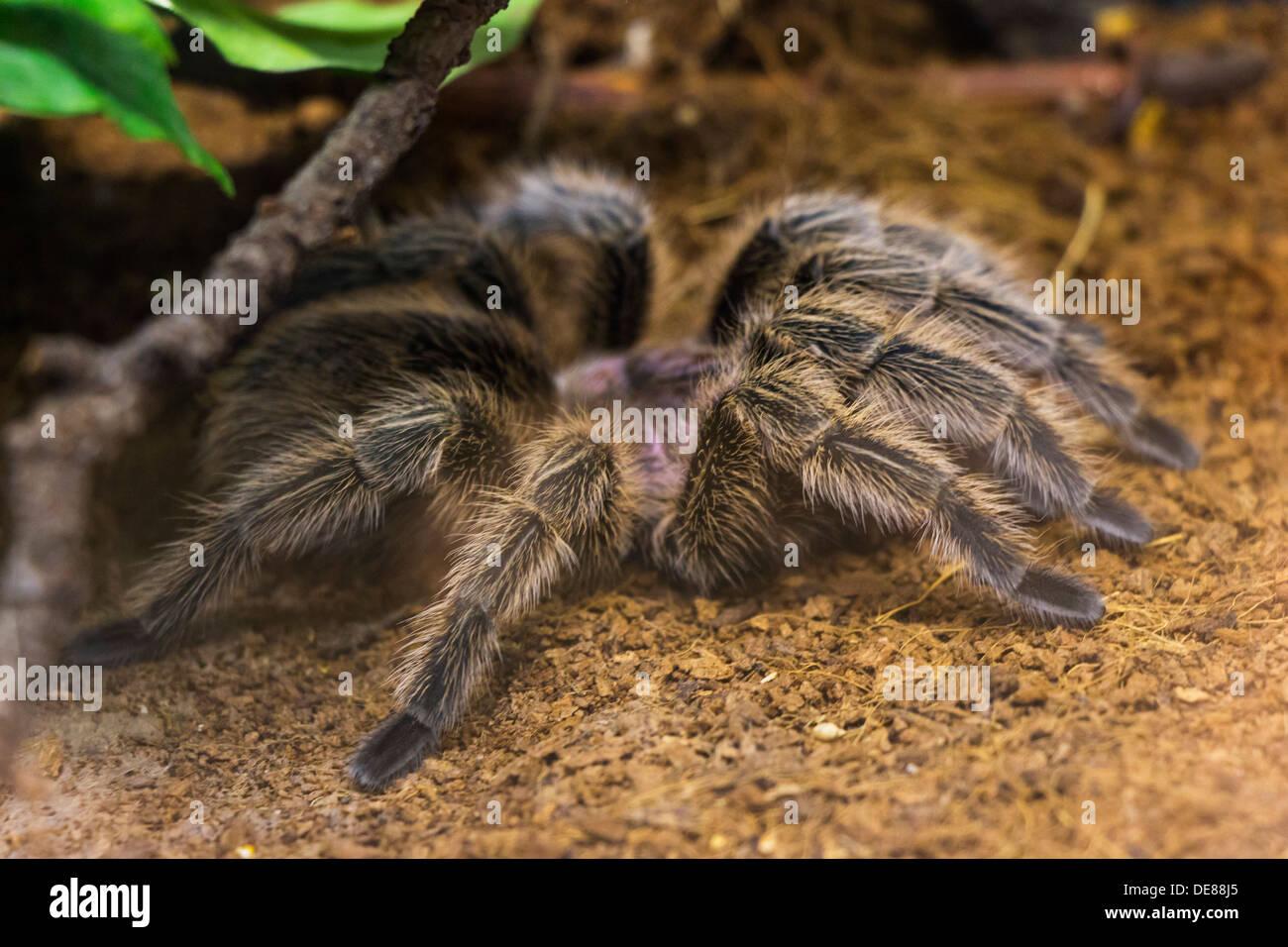 uma mamangaba tarântulas endémicas saindo do seu esconderijo foto