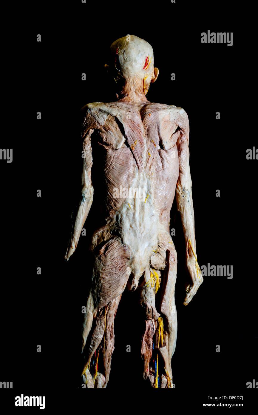 Plastination espcime de um corpo humano sem pele visto de trs foto plastination espcime de um corpo humano sem pele visto de trs ccuart Images