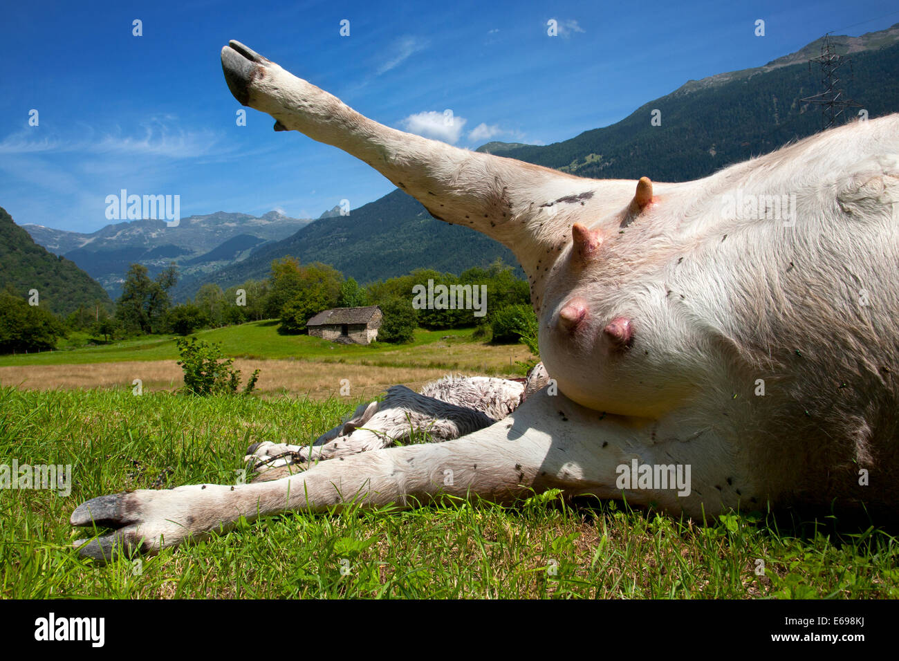 Dead cow with rigor mortis, Grumo, Switzerland Stock Photo