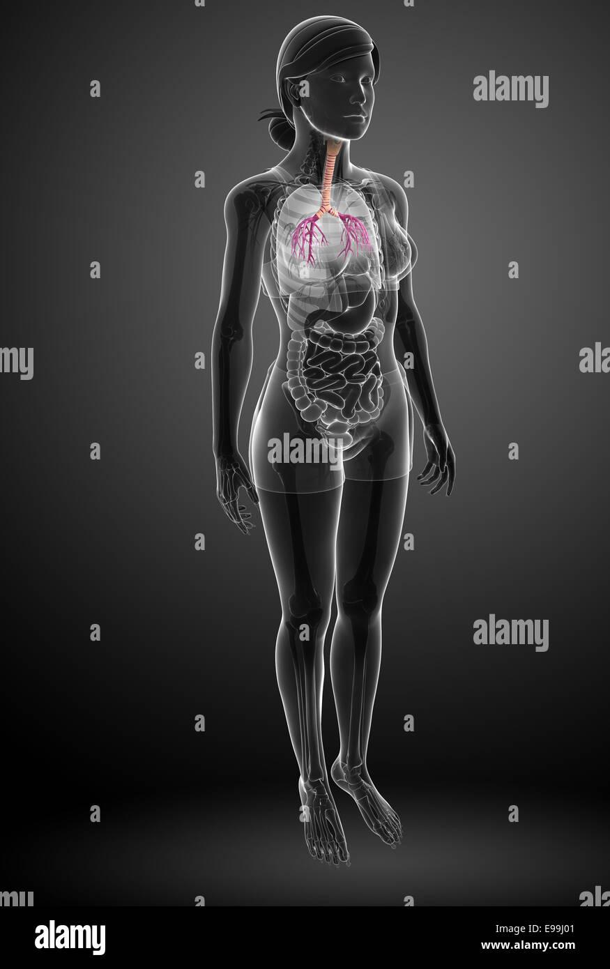 Lujo Anatomía De La Garganta Femenina Adorno - Imágenes de Anatomía ...