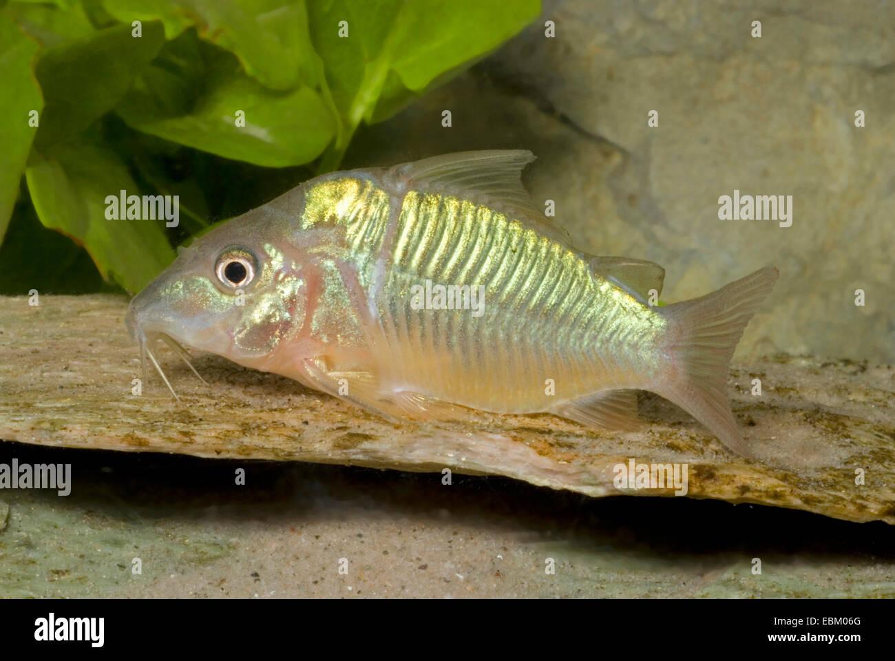 Curto-bodied bagre (Brochis splendens), natação Imagens de Stock