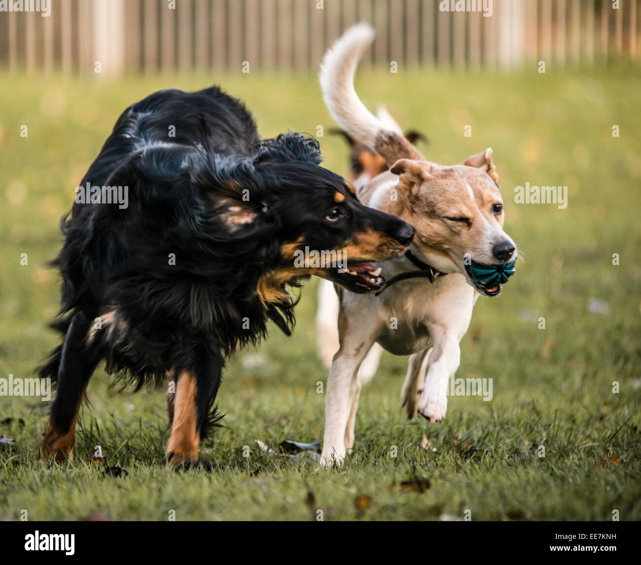 Saluki Collie Cross playing with terrier cross Stock Photo