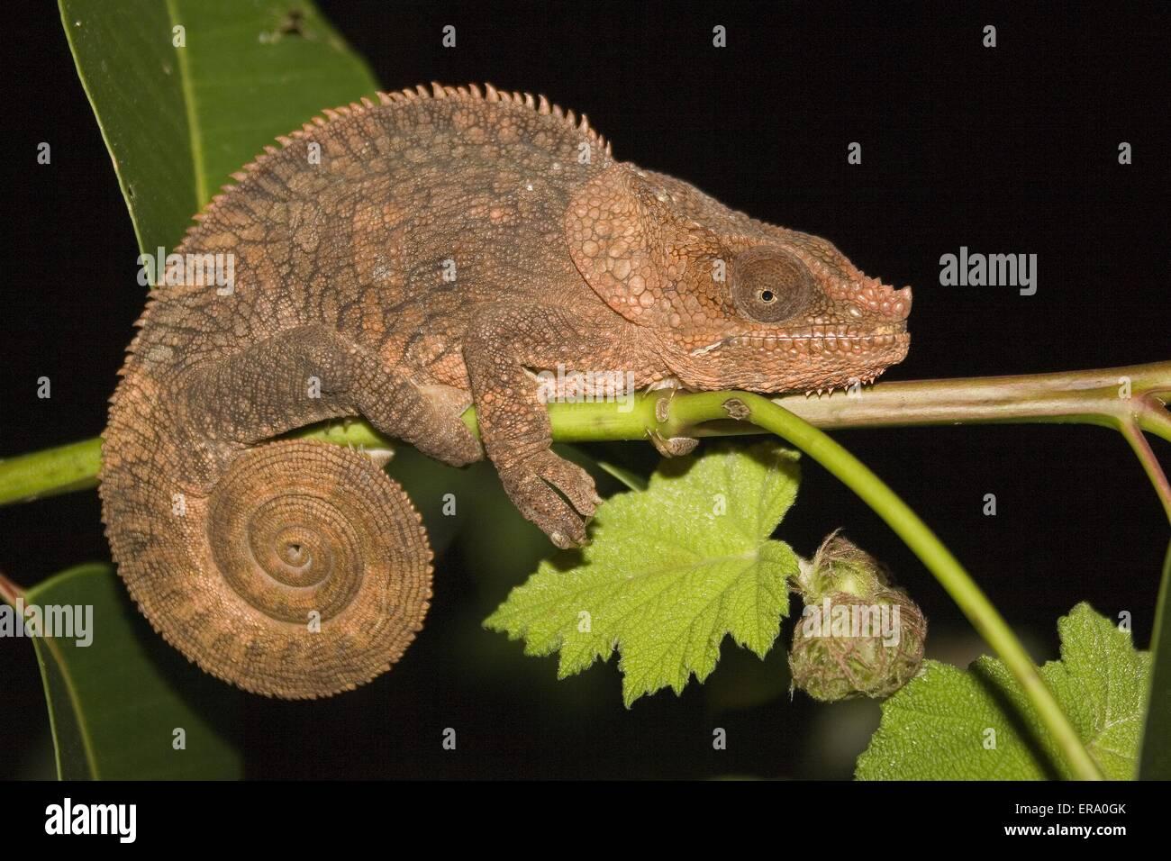 Curto-unicórnio Chameleon Imagens de Stock