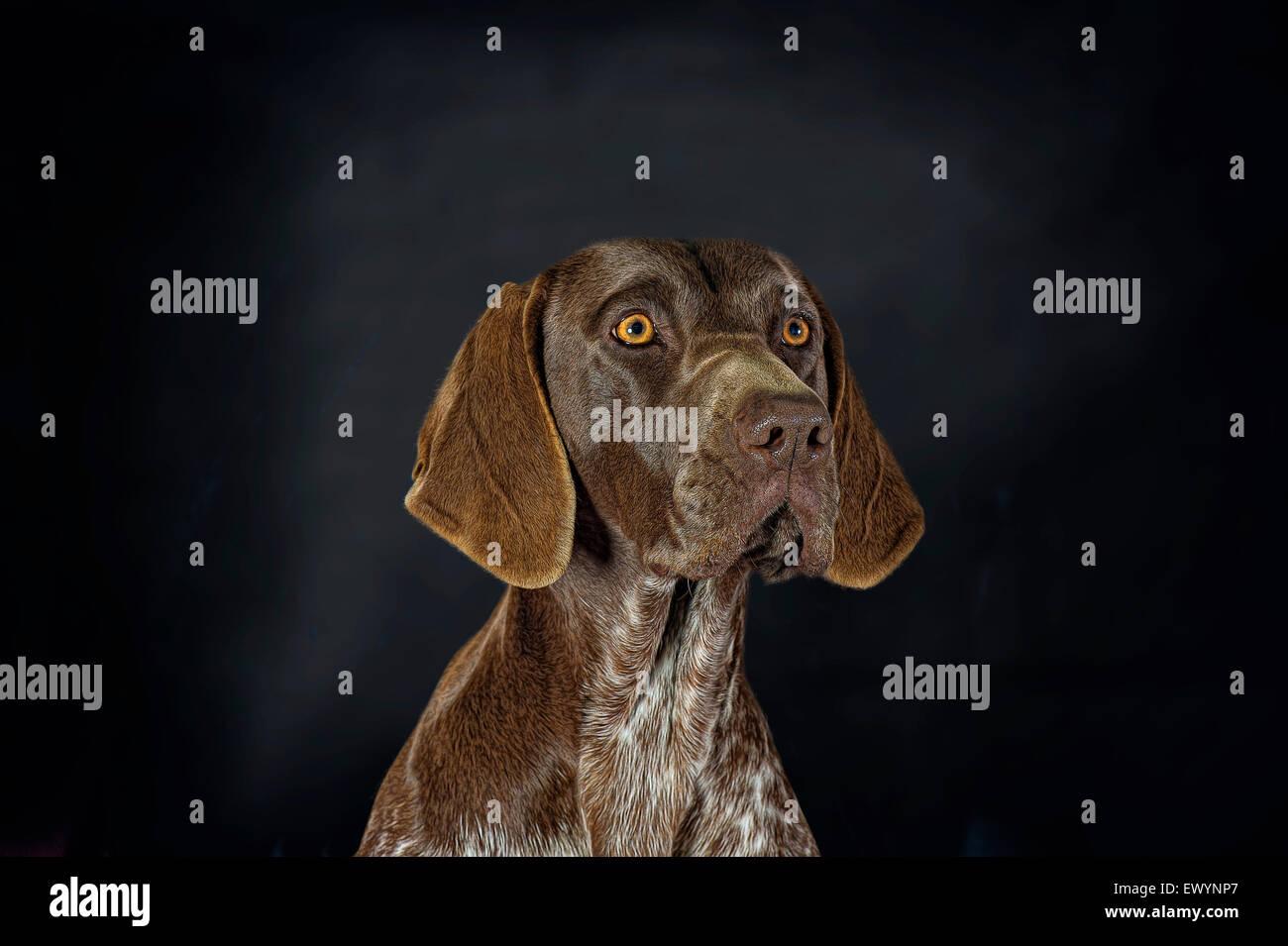 Belo retrato de um alemão Shorthaired Ponteiro Imagens de Stock