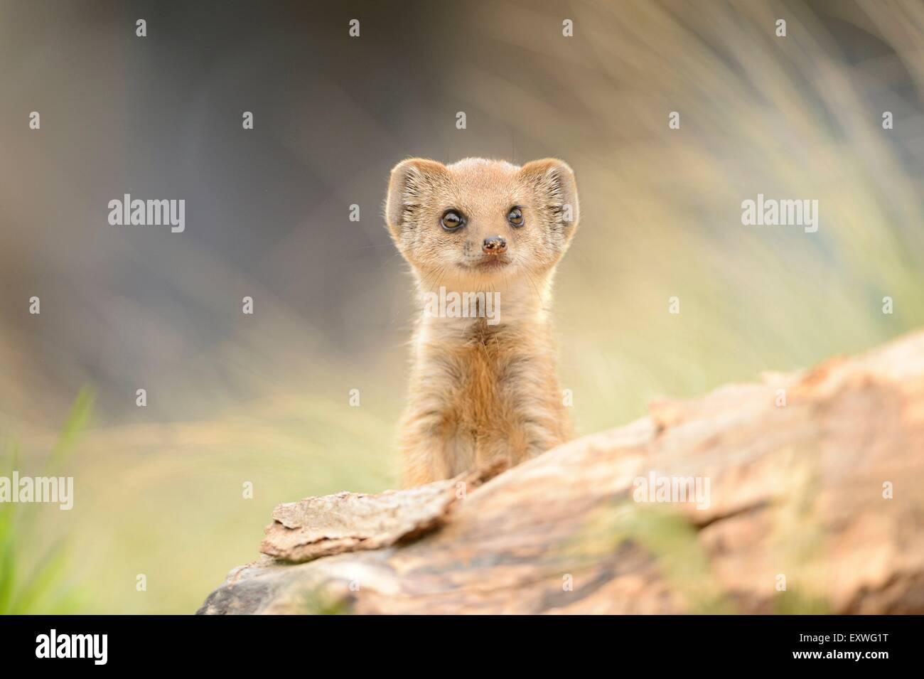 Junge Fuchsmanguste (Cynictis penicillata) Imagens de Stock