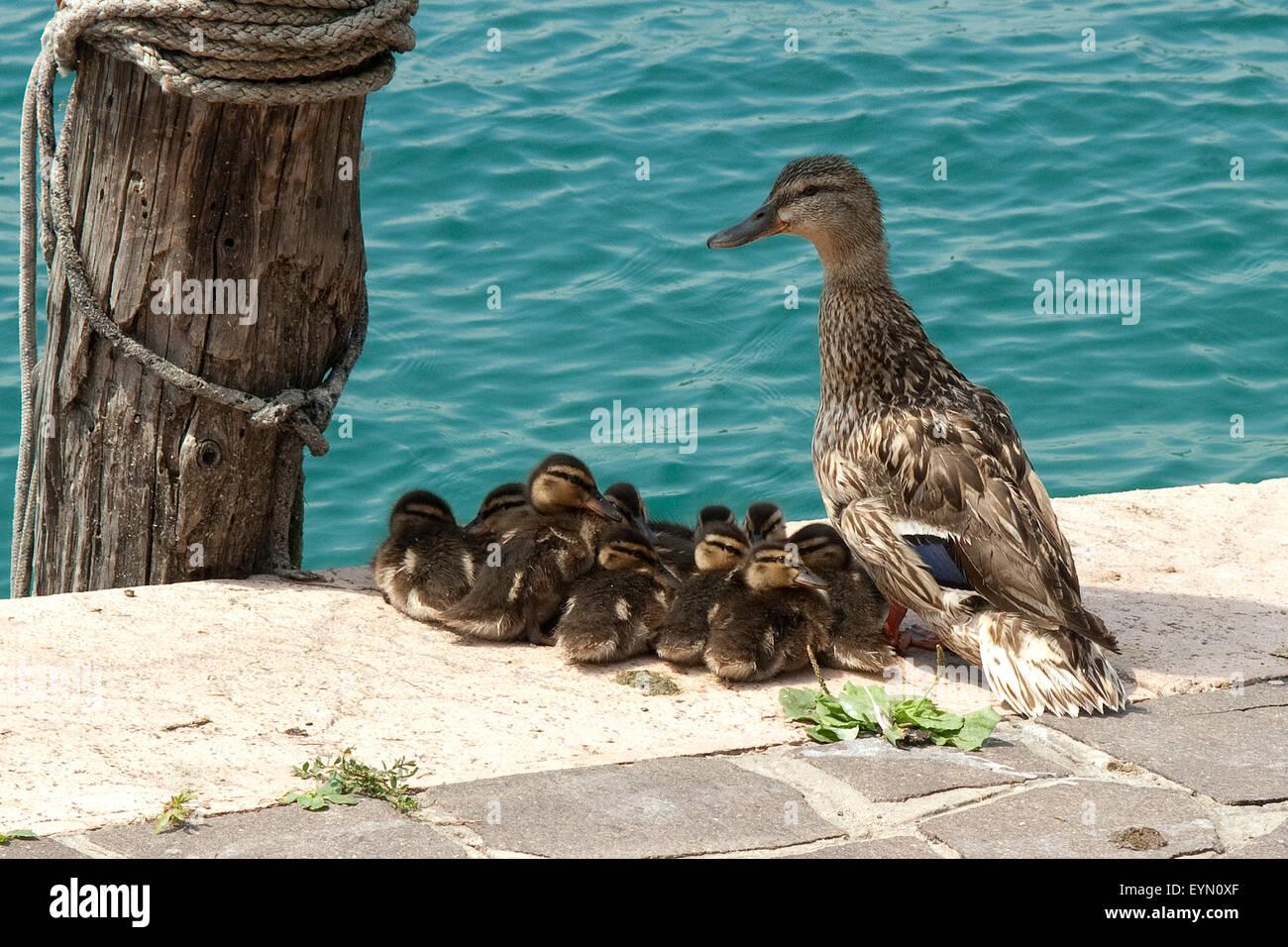 Junge, Wildenten, Anas platyrhynchos, Enten,, Imagens de Stock