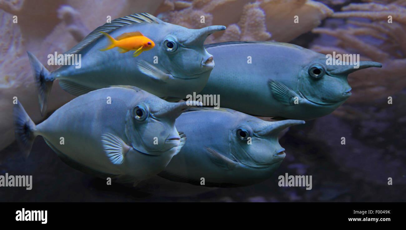 Curto-nariz unicornfish, curto jacar de-unicornfish, unicornfish malhados (Naso brevirostris), grupo Imagens de Stock