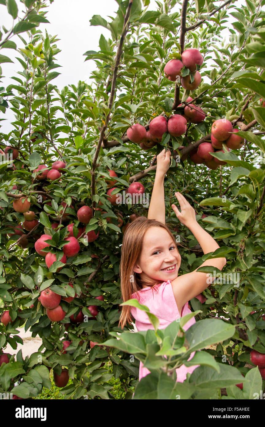 Rapariga sorridente a colheita as maçãs no pomar de frutas Imagens de Stock