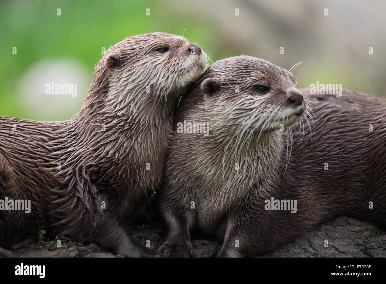 Um par de amorosos, Asiáticos Short-Clawed Lontras Imagens de Stock