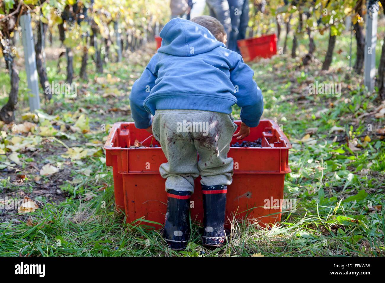 Toddler boy ajuda na colheita de uvas na vinha Imagens de Stock