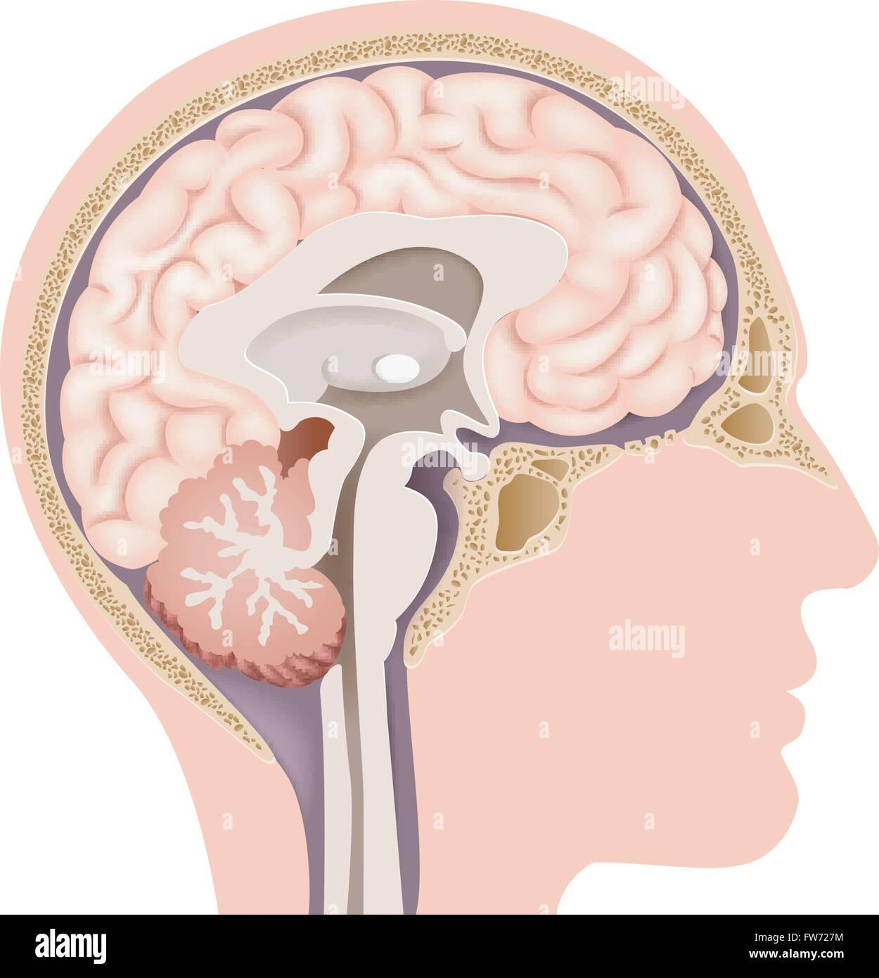 Ilustração do cérebro humano anatomia interna Ilustração do Vetor ...