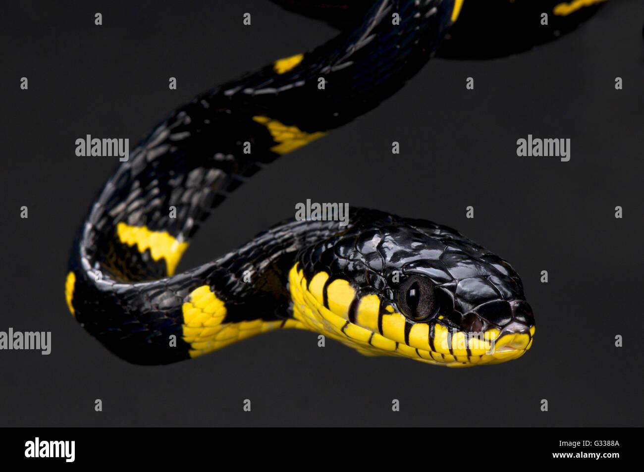 Curto atado manguezal snake (Boiga dendrophila selvagem) Imagens de Stock