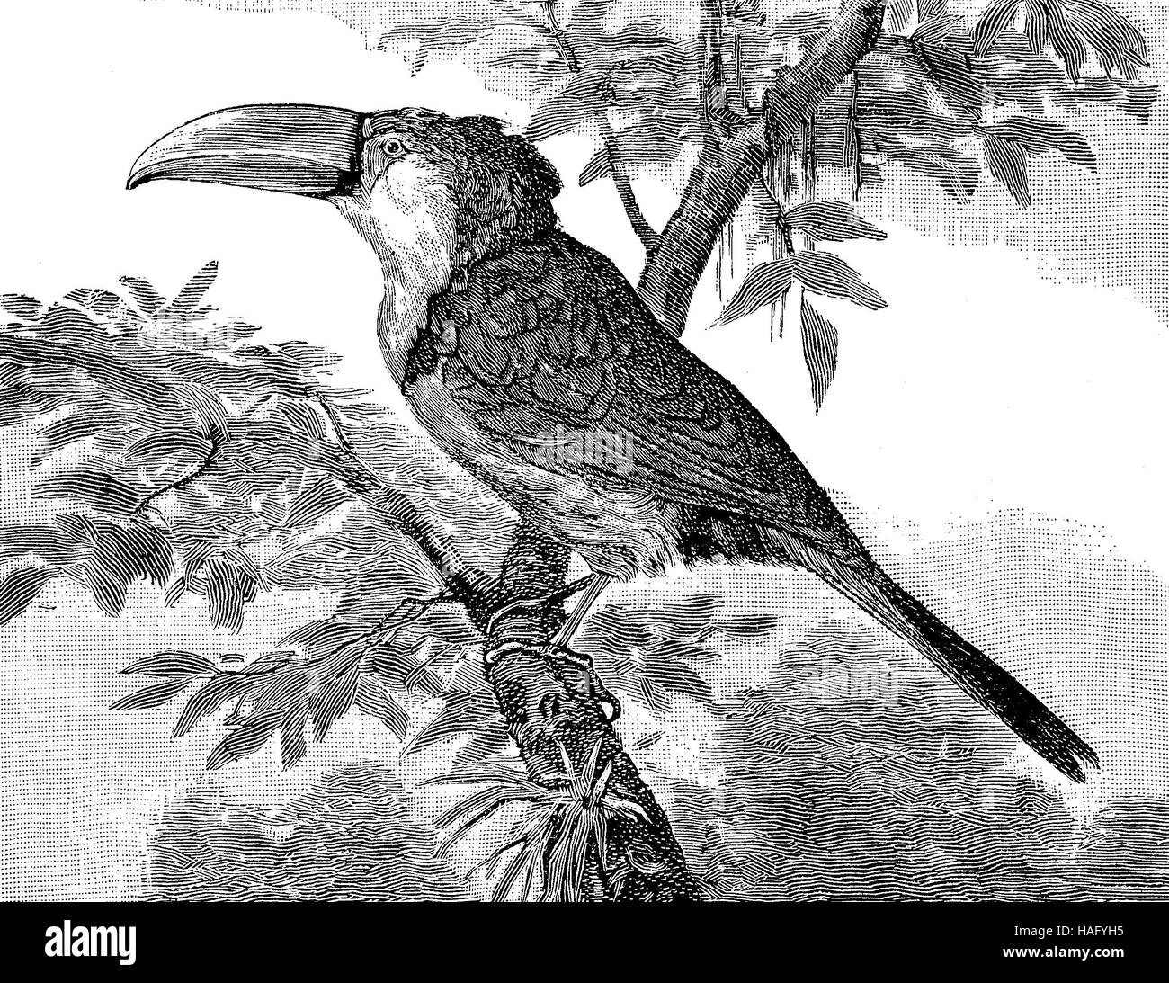 Toucan bird, xilogravura a partir do ano 1880 Imagens de Stock