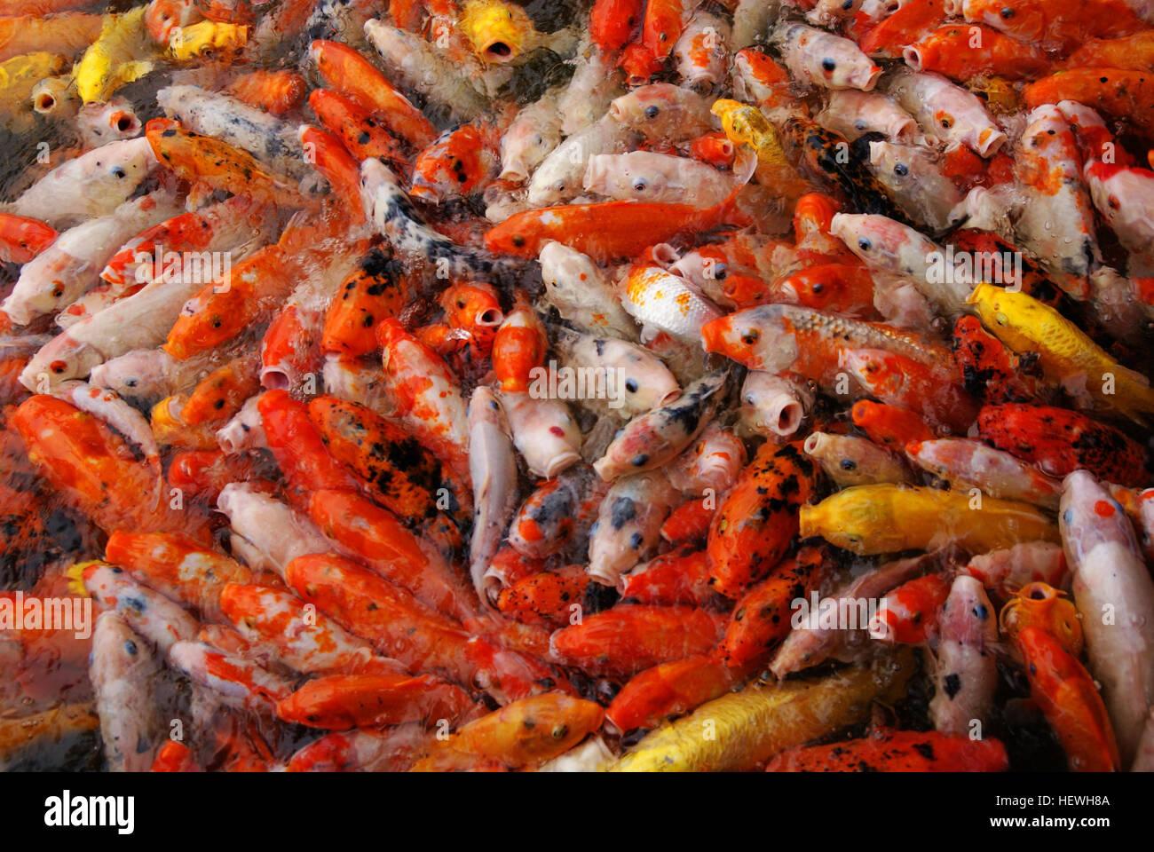 Peixes koi peixes koi factos domesticada vers o da carpa for Como criar peces koi