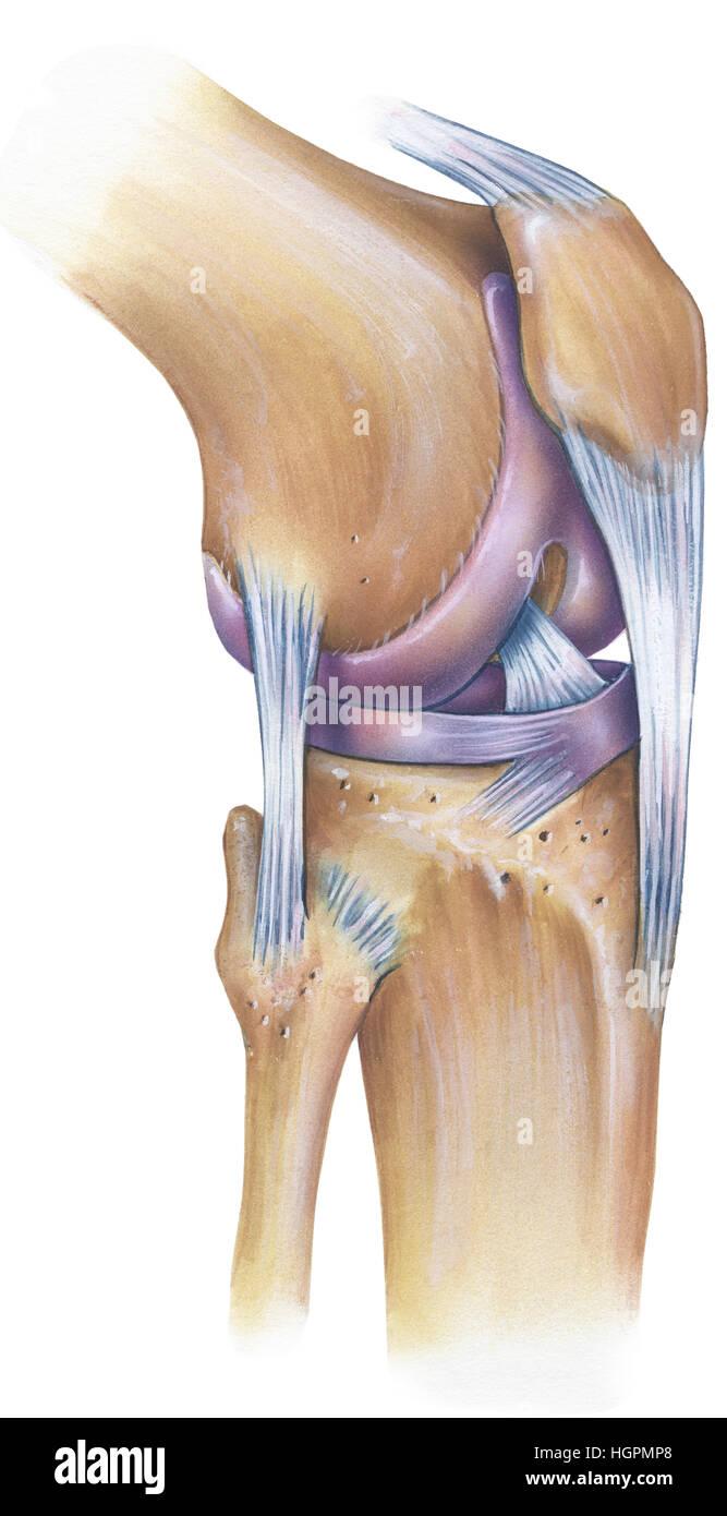 A anatomia humana normal de um joelho, anterolateral visualizar. São ...