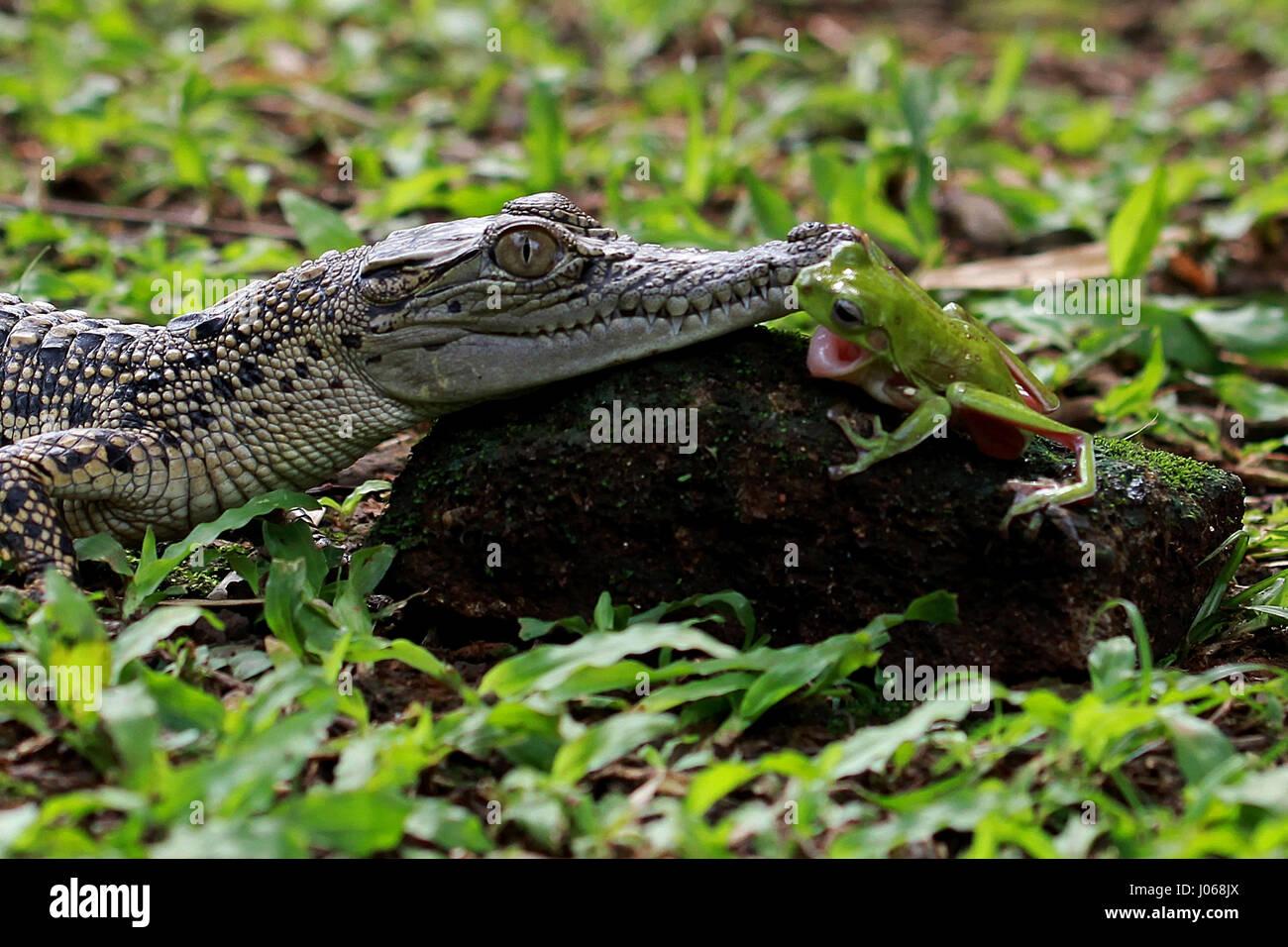 jacarta indonÉsia imagens hilariante de um corajoso tree frog e