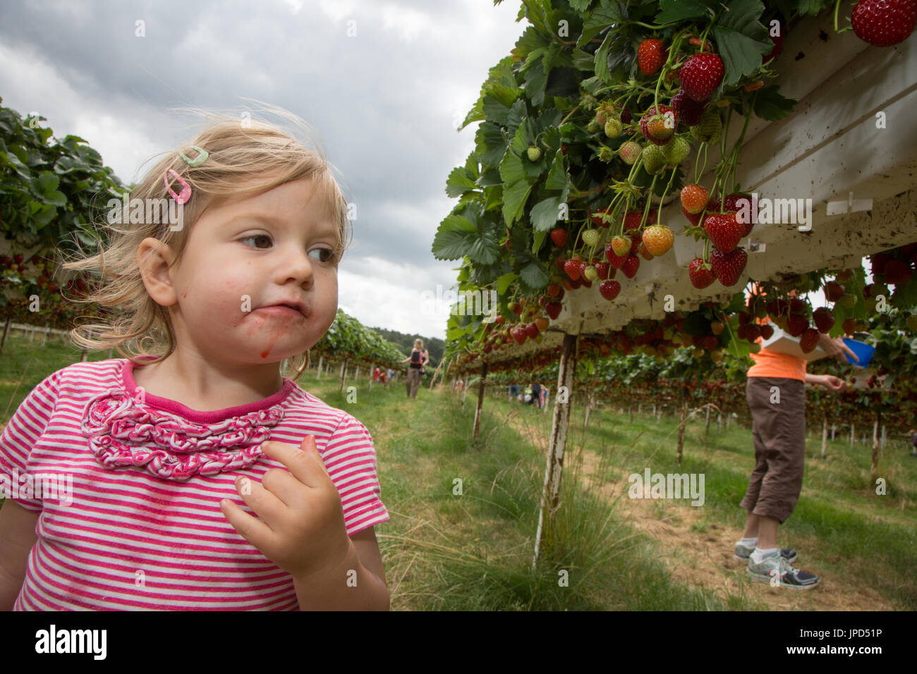 Um escorregador menina de dezoito meses a ingestão de morangos em uma pick-seus próprios fazenda em Inglaterra. Imagens de Stock