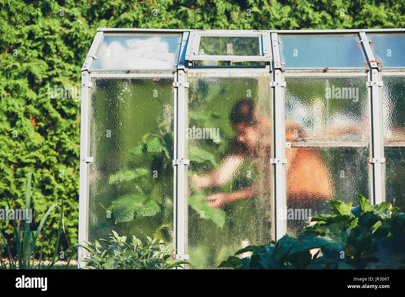 Os trabalhos sobre a horta. Jardineiro dentro da casa de vegeta o.Foto de Stock