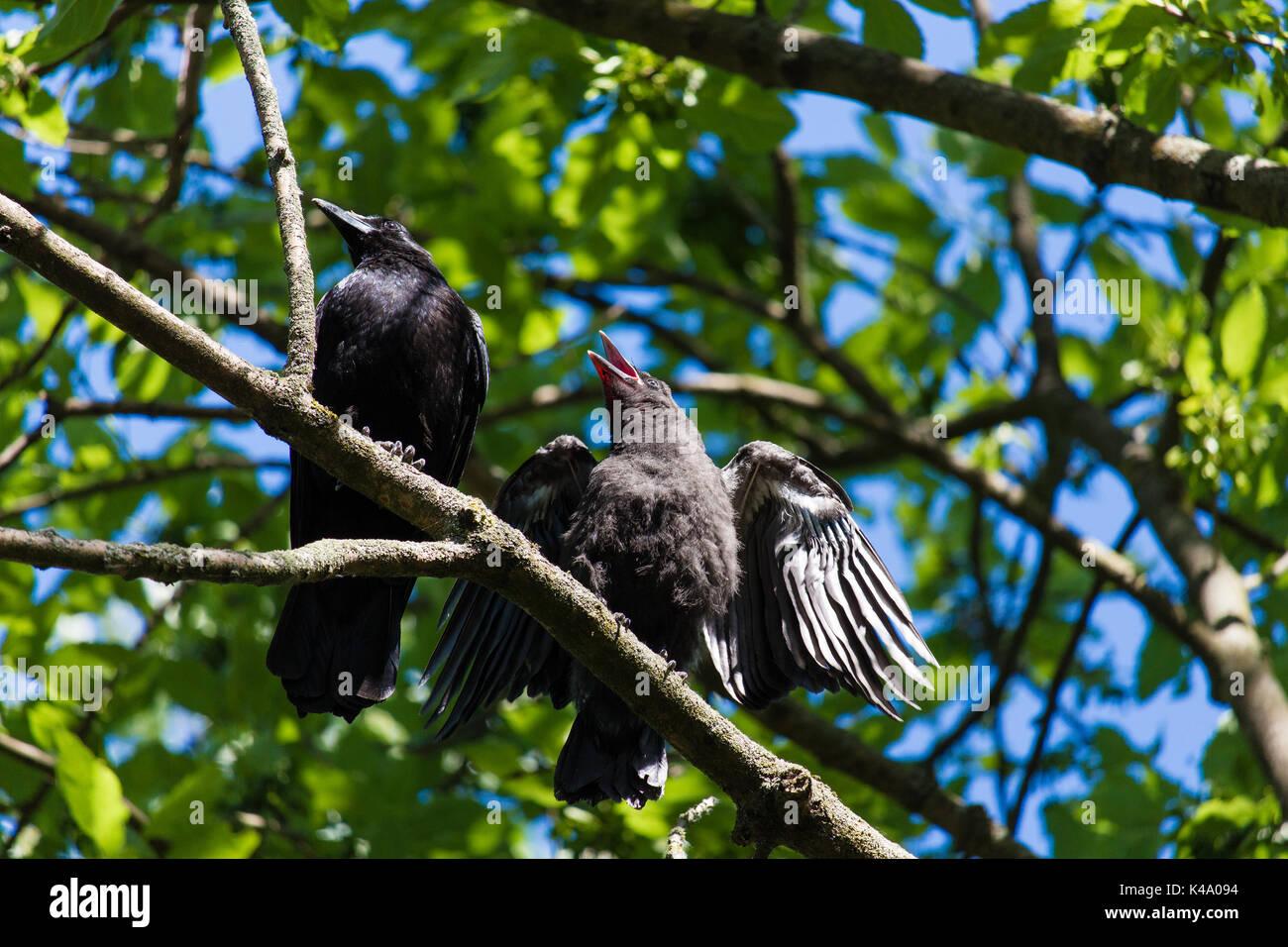 Junge Krähen im Frühling im Park gefüttert werden Imagens de Stock
