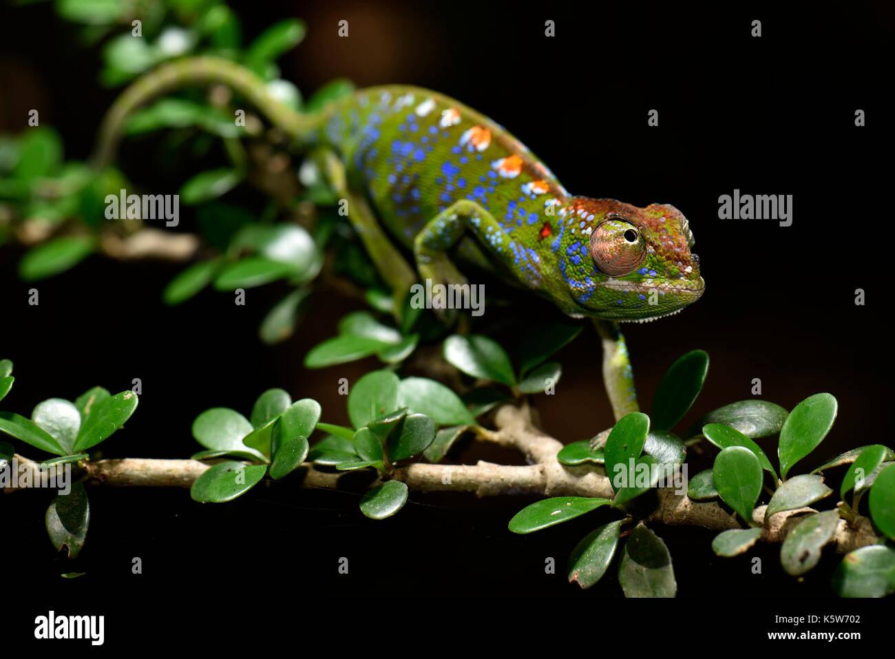 De curta duração chameleon espécies do mundo (furcifer labordi), macho, florestas secas de kirindy, western Madagáscar, de Madagáscar Imagens de Stock