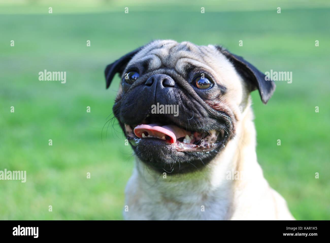 Um ano de idade fawn Pug Macho Imagens de Stock