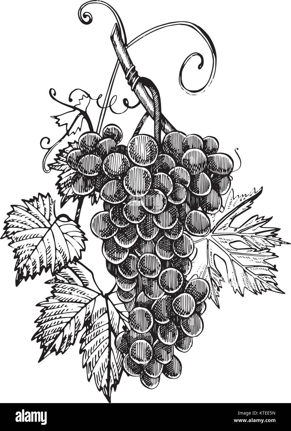 uvas desenho monocromático mão de cachos de uva isolado no fundo