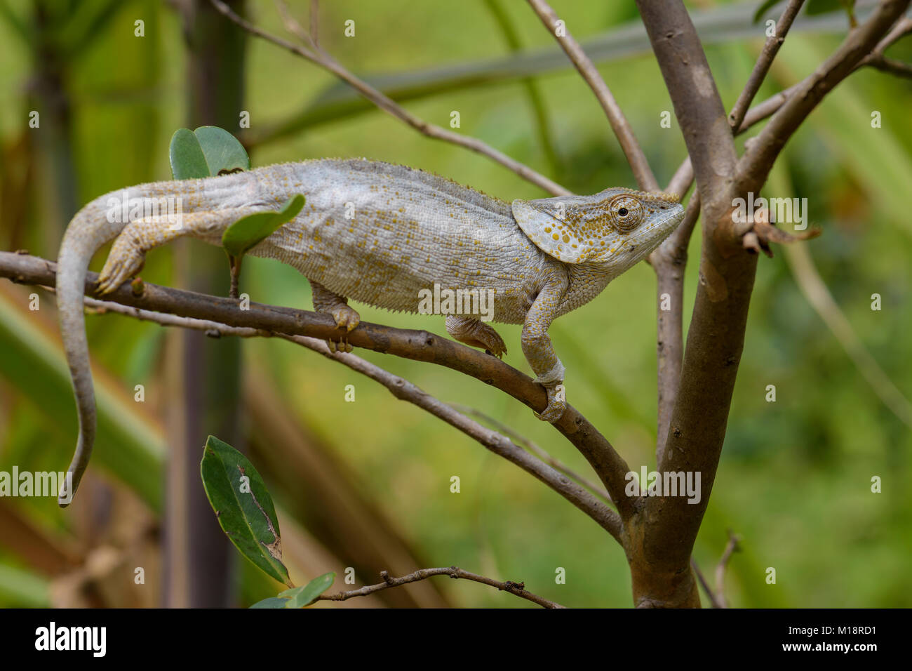 Curto-cornudo Chameleon - brevicorne Calumma, Estados Unidos rain forest. Belo lagarto colorido. Orelha de elefante. Imagens de Stock