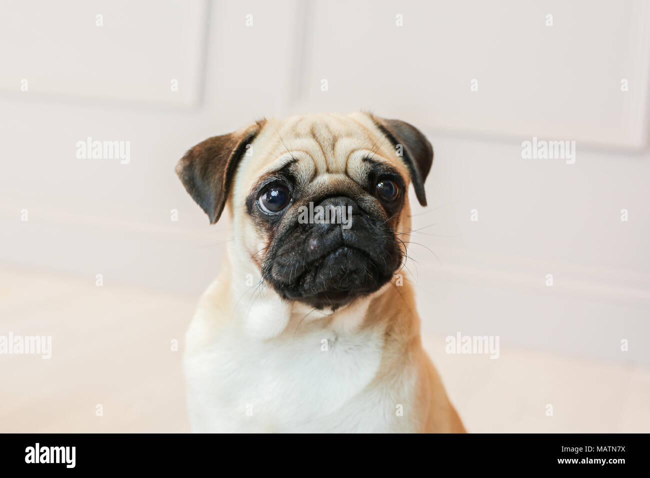 Luz fawn pug em um estúdio com um fundo branco Imagens de Stock