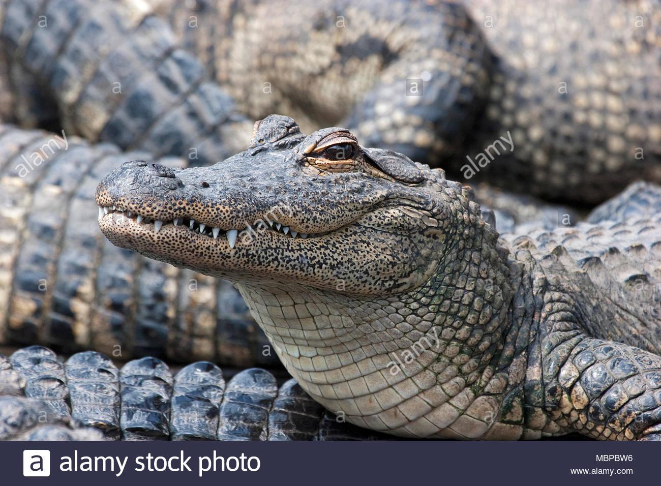 Alligator mississippiensis Mississippi (jacaré), grupo, juvenil, Everglades, na Flórida, Estados Unidos da América Imagens de Stock