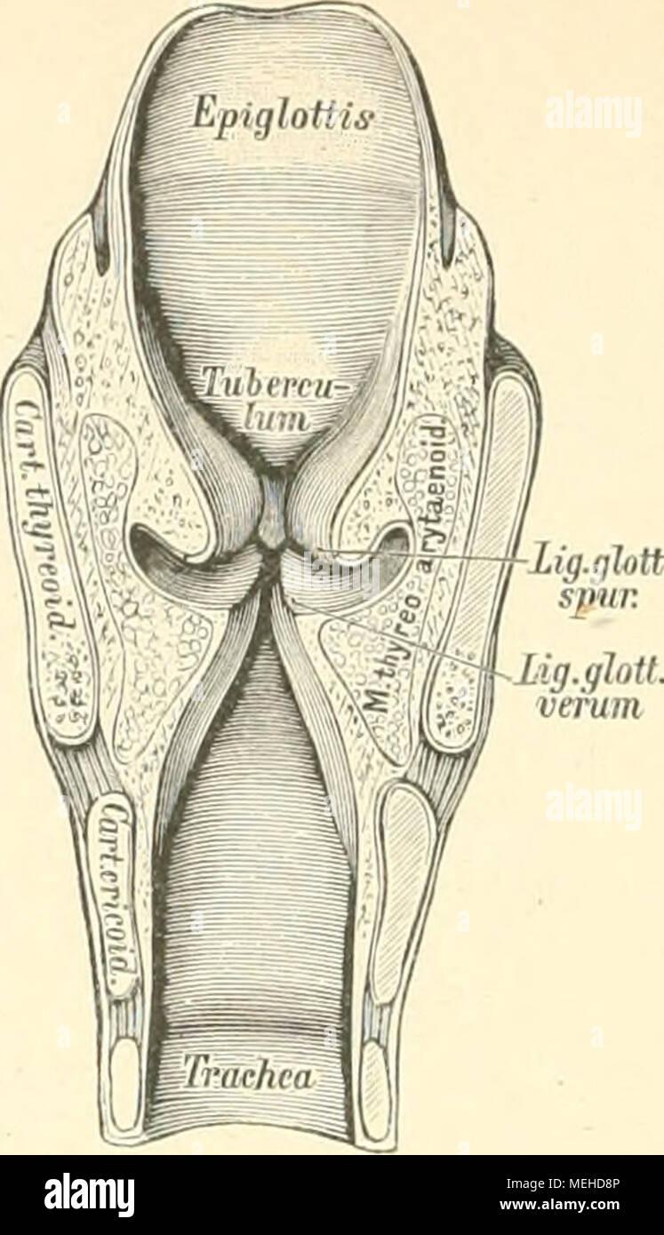 Ausgezeichnet Anatomie Des Geringeren Sac Zeitgenössisch - Anatomie ...