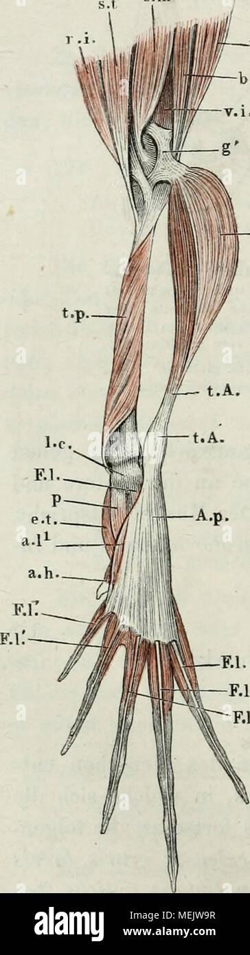 Wunderbar Wesentlich Von Der Menschlichen Anatomie Und Physiologie ...