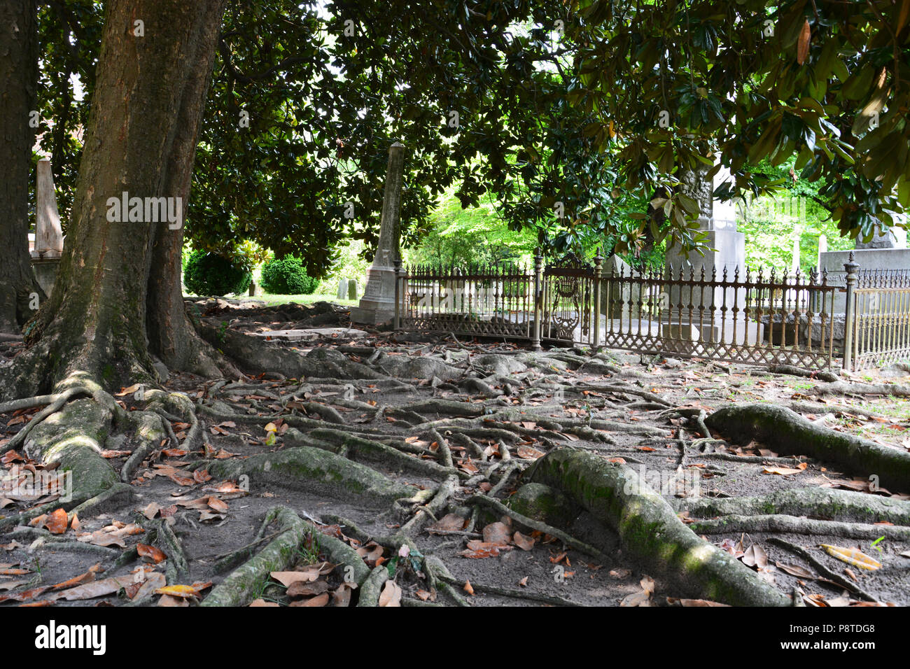 Roots From 100 Year Old Magnolia Trees Carpet The Ground In The