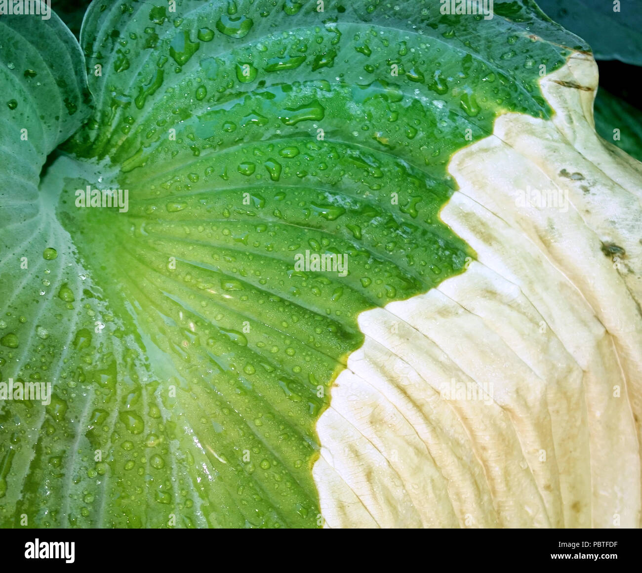 The Leaf Of A Hosta Plant That Has Been Infected With Disease Stock