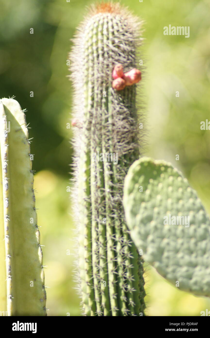 Gros Plan de fleurs de cactus rouge, close-up de flores de cacto vermelho, Nahaufnahme rotte Blüten der kaktusgelben, primer plano de rosso flores amarillas Imagens de Stock