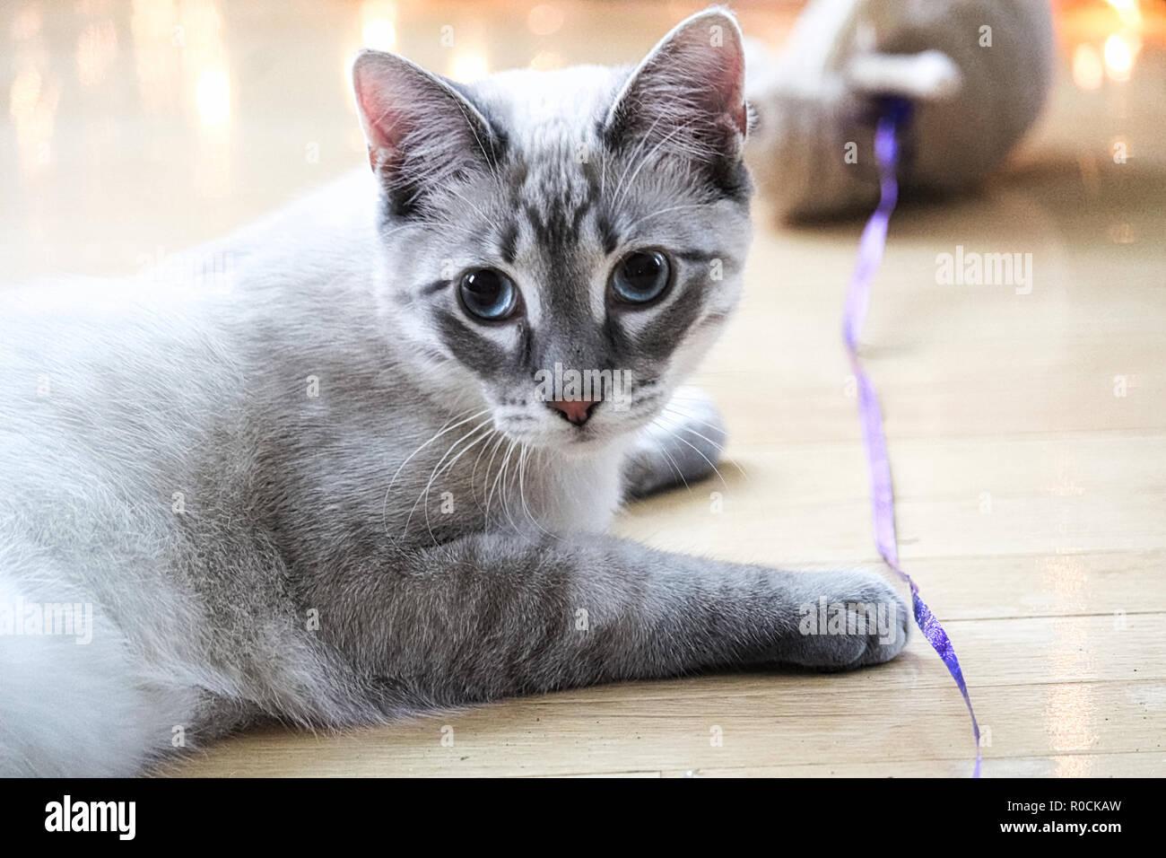 Um gato malhado joga com um brinquedo em uma string Imagens de Stock