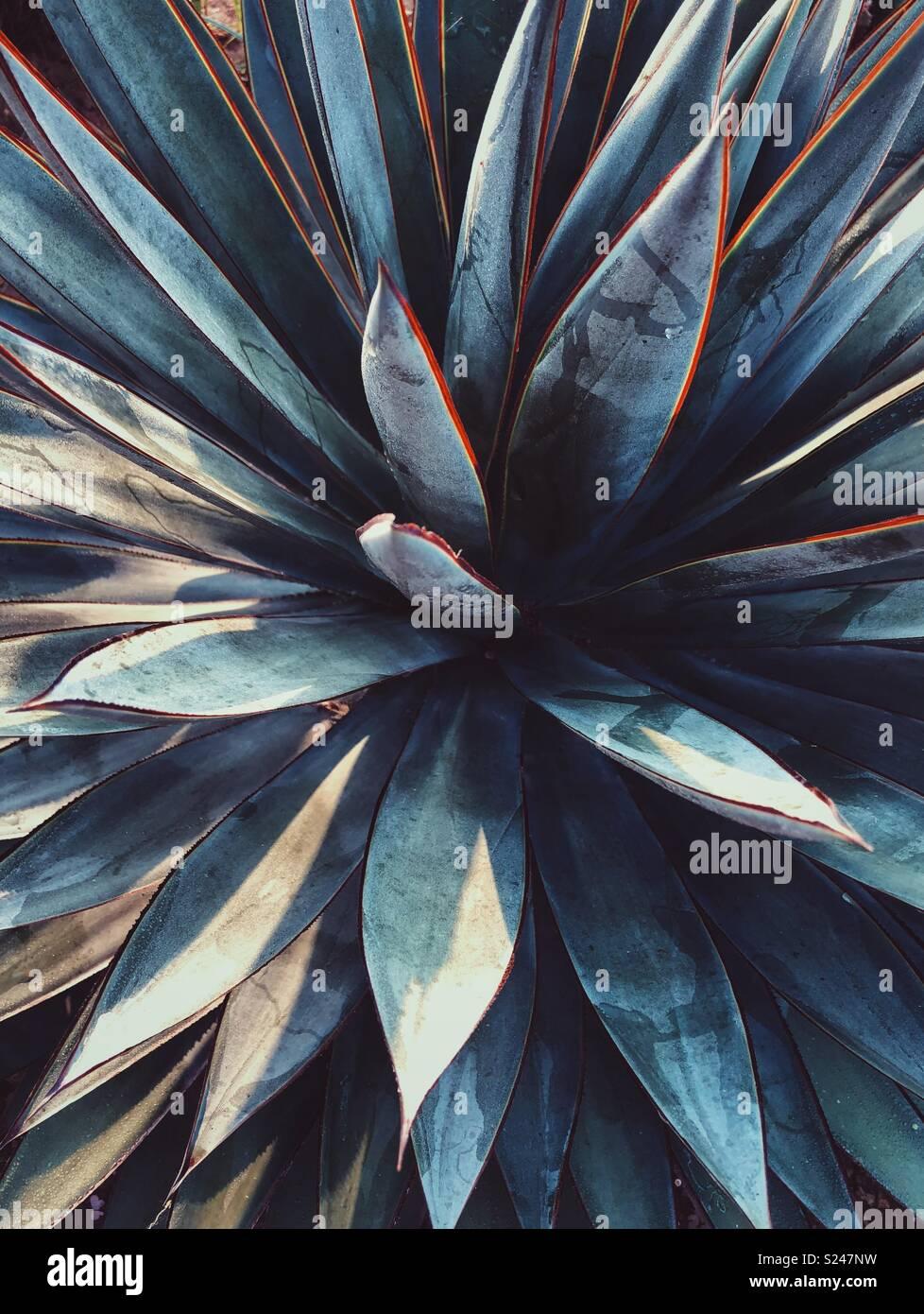 Closeup de um suculento muito marcante Imagens de Stock