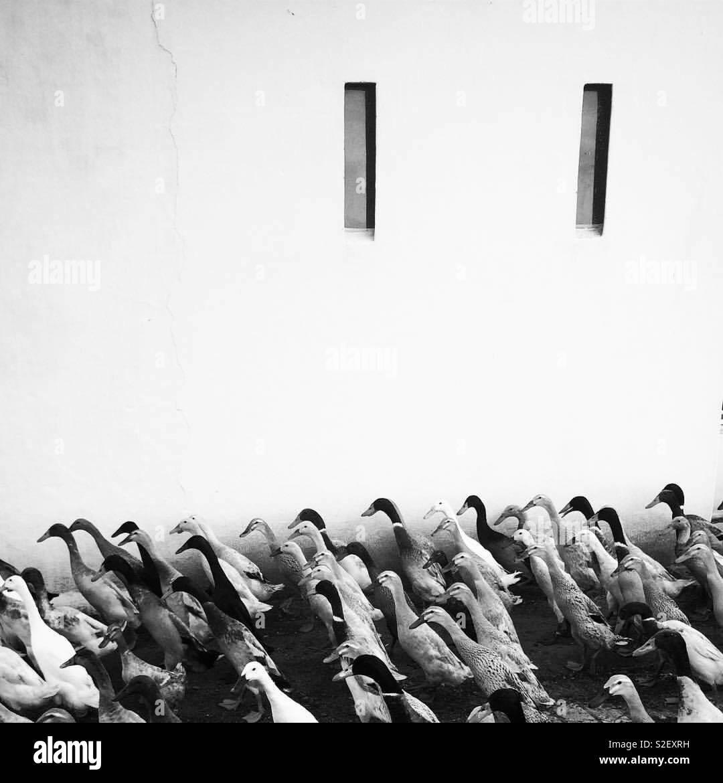 Desfile de pato Imagens de Stock