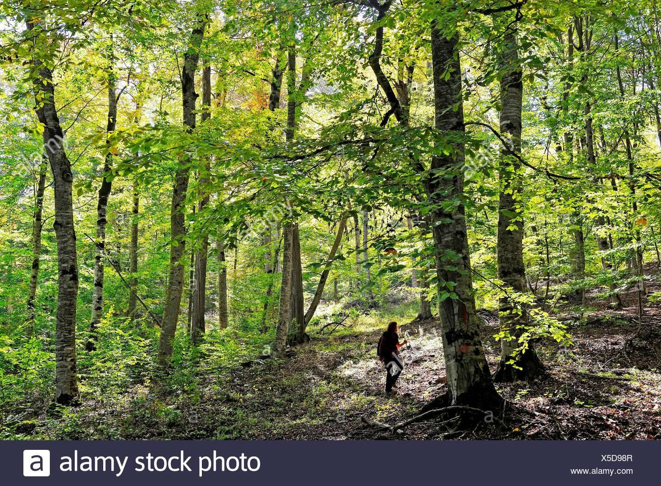 Beech árvores na floresta do Parque Nacional Dilijan Tavush região, Arménia, Eurásia. Imagens de Stock