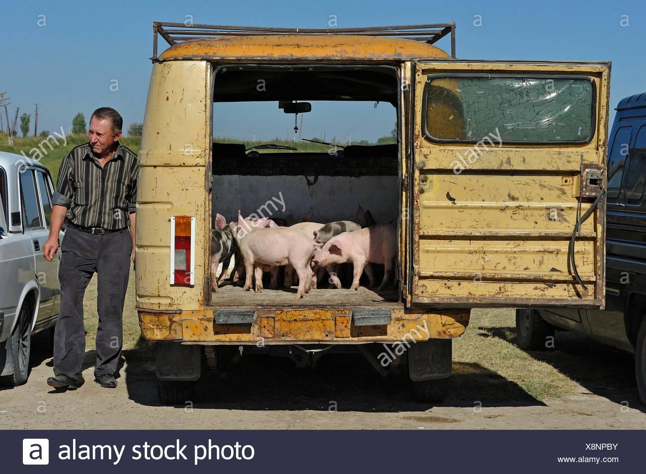 Mercado de gado no Ararat Artashat planície perto, 30 km a sudeste de Erevan, Arménia, a Eurásia. Imagens de Stock