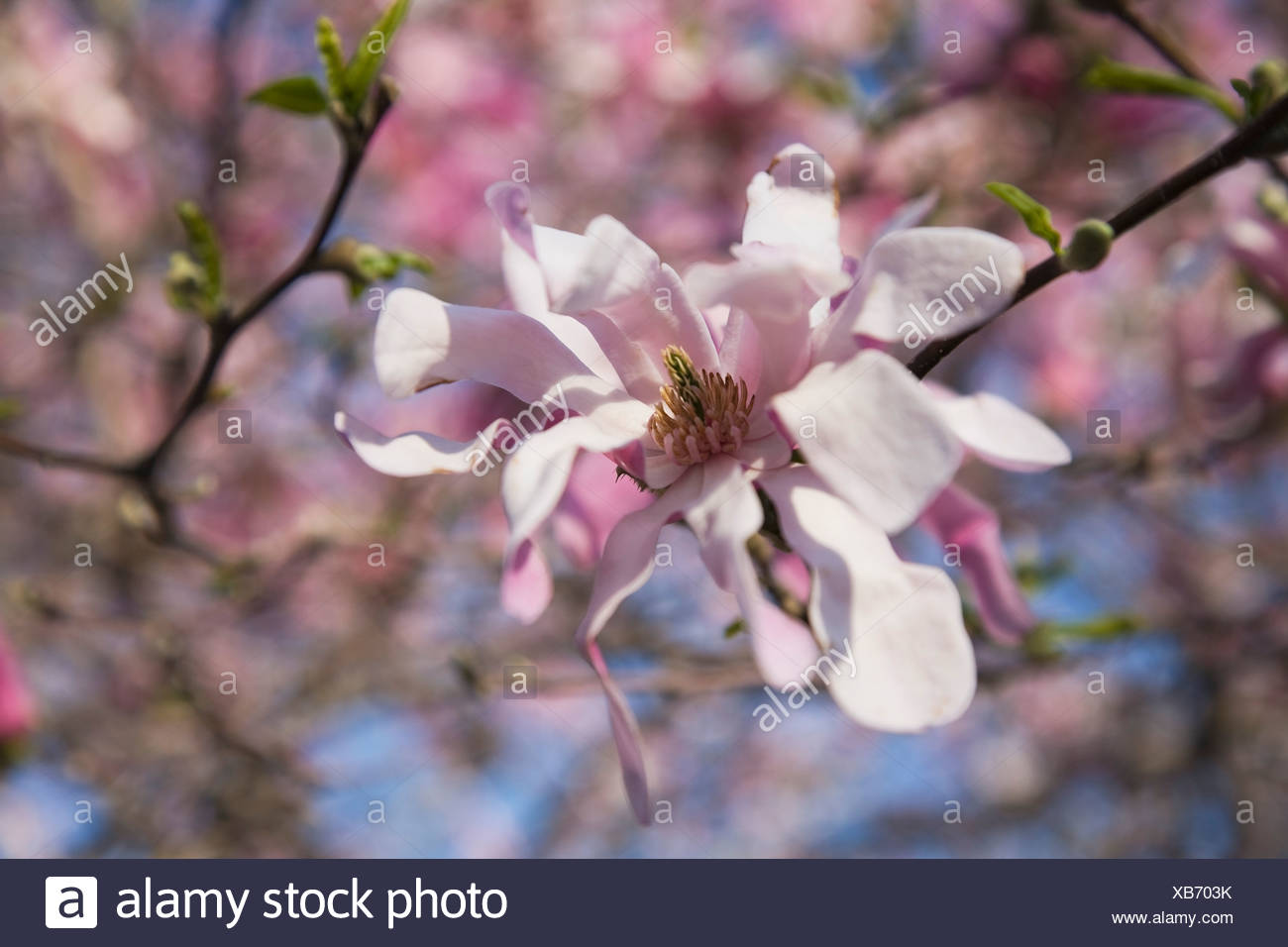 Montreal Quebec Canada A Magnolia Tree Blossoming Flowers At