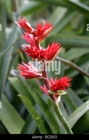 Hohenbergia stellata, Bromeliaceae, Venezuela and Brazil, South America - Stock Image
