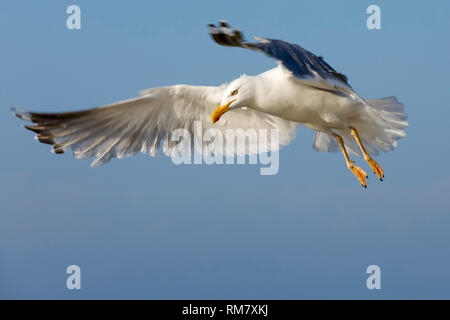 The flight to get fresh food. The flight of a lonely seagull or a group of seagulls can be easily observed in the sky above the Baltic Sea coast in Ko - Stock Image